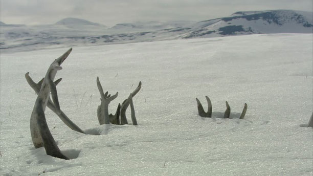 عکس حیوانات - گوزن در برف