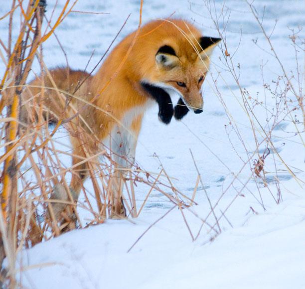 عکس روباه در برف