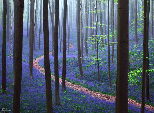 بهار در جنگل Hallerbos، بلژیک