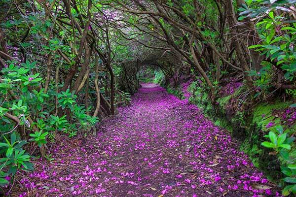 تونل گل صد تومانی در Reenagross پارک، کنمار، داکوتای شمالی ایرلند