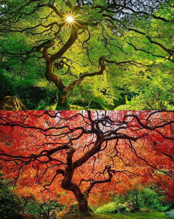 افرای ژاپنی(Japanese Maple)