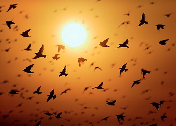 زیباتری تصاویر پرندگان را میتوان در مهاجرت دسته جمعی آنها دید
