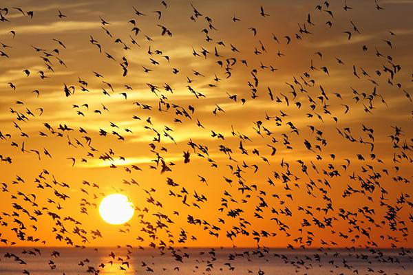 تصاویر مهاجرت جمعی پرندگان