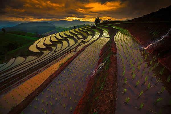 rice-fields-motamem1