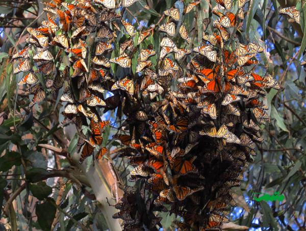 مهاجرت پروانه ها