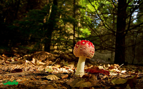 beautifull-mushroom-motamem-org034