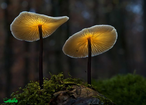beautifull-mushroom-motamem-org19_tale_vone