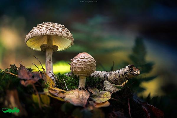beautifull-mushroom-motamem-org26