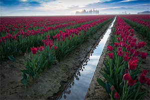 زیباترین مزارع گل در جهان
