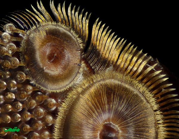 لوح تقدیر:فرانک ریزر، گروه زیست شناسی باغ شهر، نیویورک، ایالات متحده آمریکا موضوع: کلاهکهای چسبناک یک نوع سوسک
