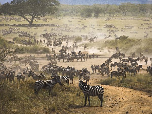 مهاجرت گورخر ها در تانزانیا