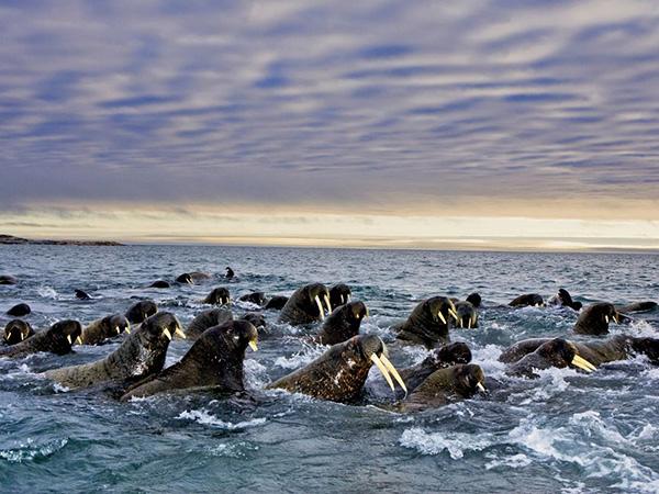 مهاجرت شیرماهی ها در قطب جنوب