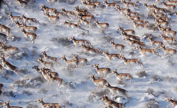 مهاجرت پرانگ هورن گونه ای از بزهای کوهی آمریکایی به کانادا