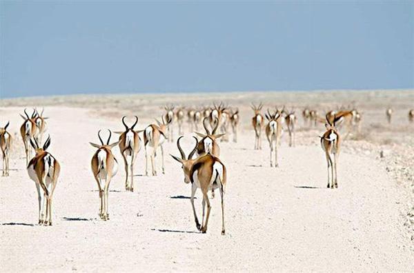 مهاجرت کل (بزکوهی ) در نامیبیا