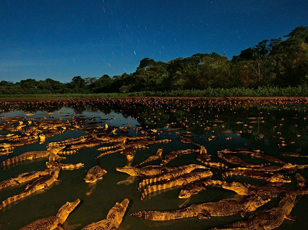 مهاجرت کروکدیل ها در آبهای برزیل