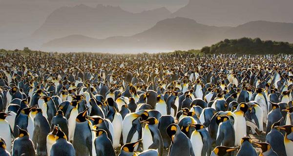 مهاجرت پنگوئن ها در قطب جنوب