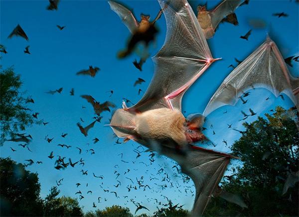 مهاجرت خفاش های دم آزاد مکزیکی به تگزاس