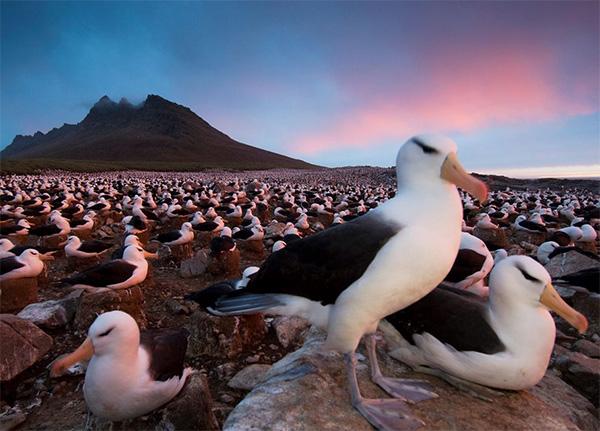 مهاجرت Browed Albatrosses به فالکلند آفریقای جنوبی