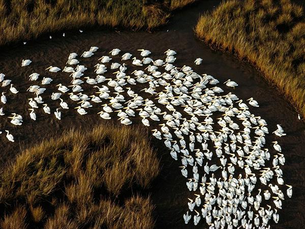 مهاجرت پلیکان سفید در کنار رودخانه می سی سی پی