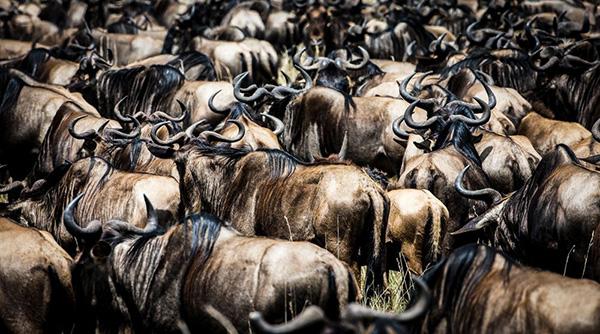 مهاجرت گاوهای وحشی در کنیا