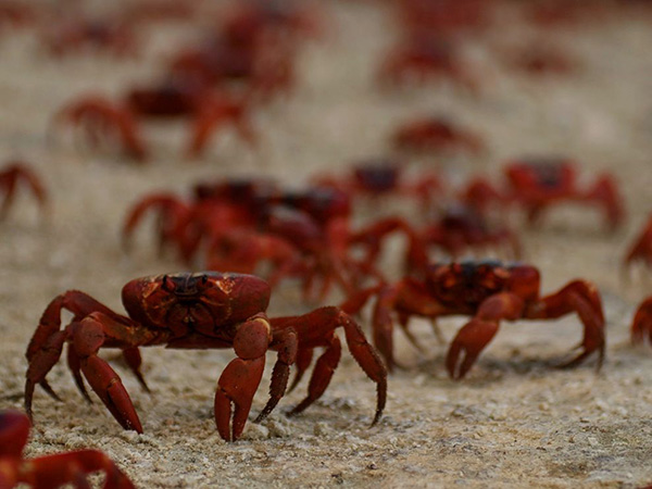 مهاجرت خرچنگ های قرمز به جزیره کریسمس مارس استرالیا برای تخم گذاری