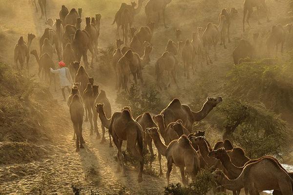 حرکت دسته جمعی شترها در صحرای تونس
