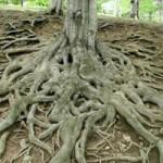 درباره تناسب شاخه و ریشه