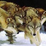 داستان گرگها: تنها داستان واقعی زندگی