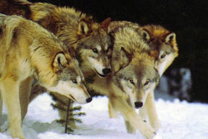 داستان گرگها