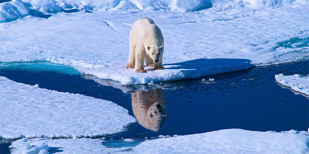 polar-bear-reflection