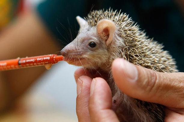 حیوانات در بیمارستان و کلینیک های تخصصی - جوجه تیغی