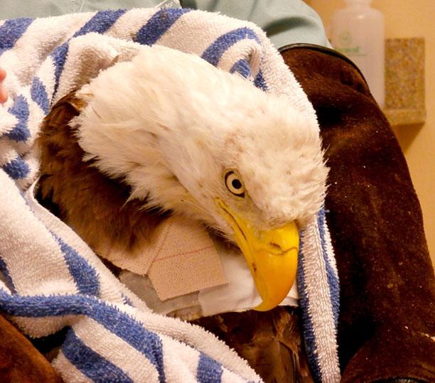 حیوانات در بیمارستان و کلینیک های تخصصی - عقاب بیمار