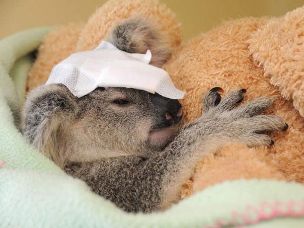 حیوانات در بیمارستان و کلینیک های تخصصی - کوالا