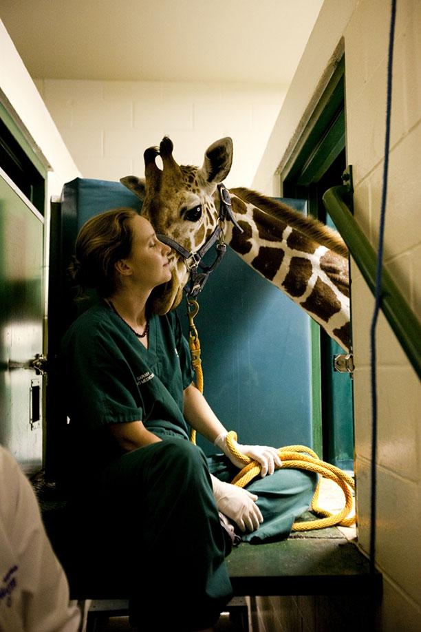 حیوانات در بیمارستان و کلینیک های تخصصی - زرافه