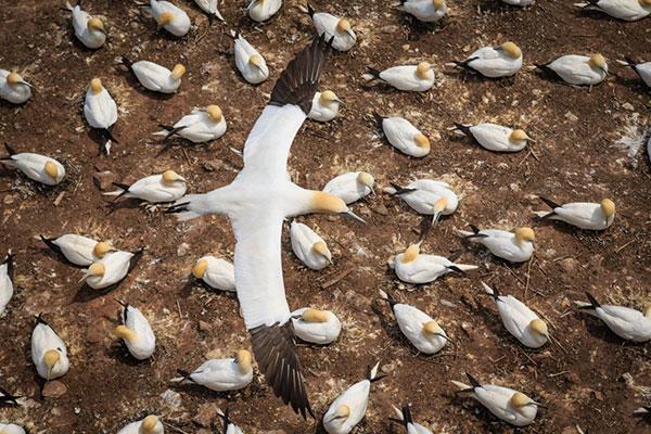 پرواز دسته جمعی و گروهی پرندگان در پاییز