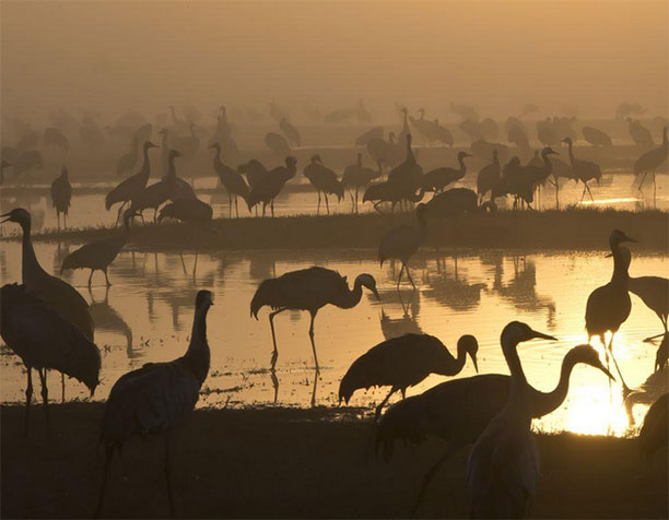 حرکت دسته جمعی پرندگان