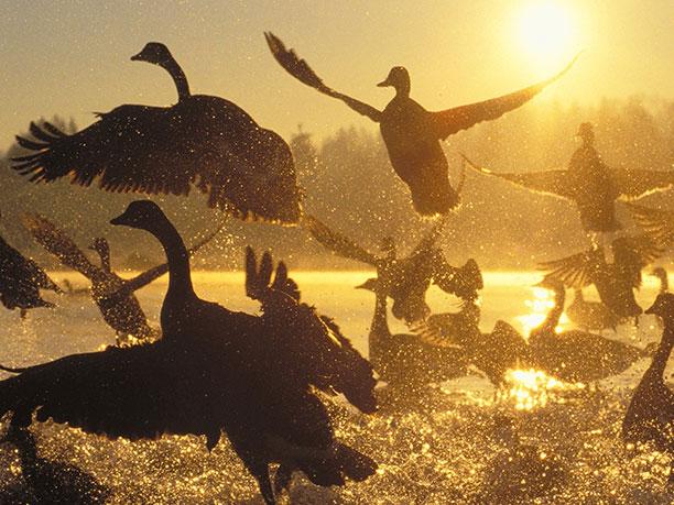 مهاجرت گروهی پرندگان