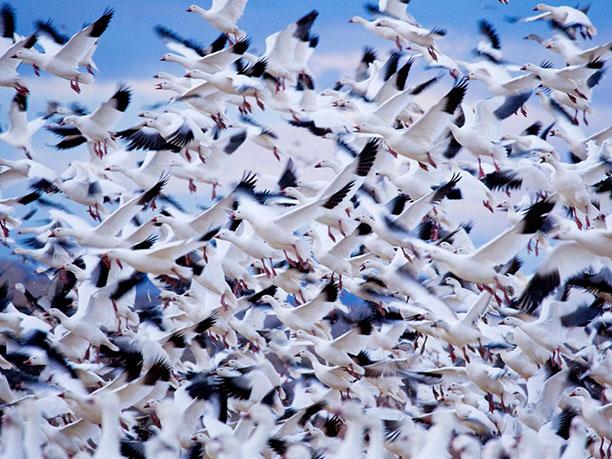 کوچ گروهی پرندگان در هنگام تغییر فصل