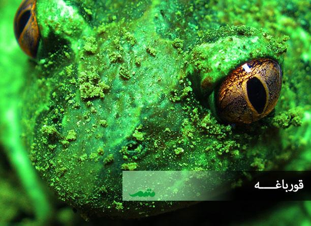 چشم قورباغه