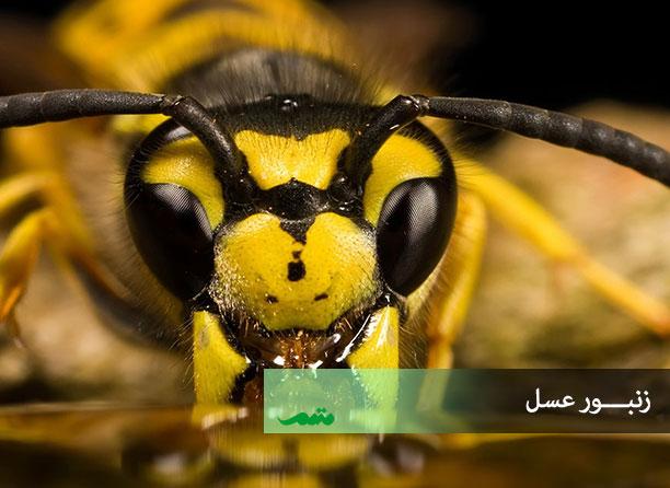 تصویر چشمهای حشرات -زنبور عسل