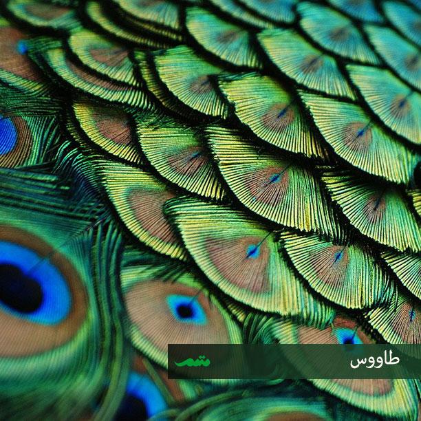 پرهای پوششی بدن پرندگان