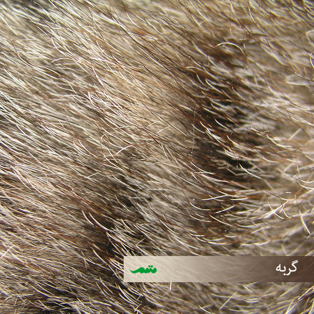 موهای بدن گربه
