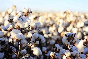 تصاویری از مزرعه پنبه