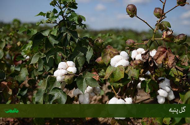 مزارع کشت پنبه و تصویر گل پنبه