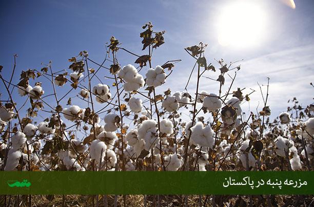 عکس مزارع پنبه پاکستان
