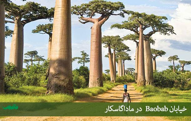 درخت بائوباب در آفریقا