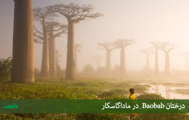 این درخت در ماداگاسکار یکی بومی سرزمین اصلی آفریقاست،