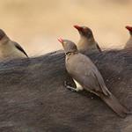 تصاویر پرنده کنه خوار – نماد همزیستی بر مبنای منافع