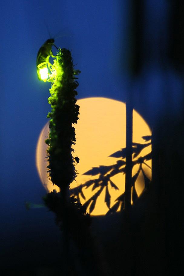 چراغانی با نور کرم های شب تاب