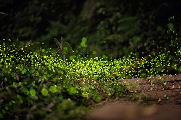 کرم شب تاب چگونه نور تولید می کند؟